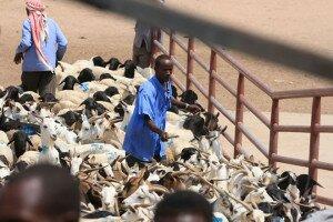 A farmer with his livestock at th e Hargeisa Livestock Market in Somaliland. Photo: FAO